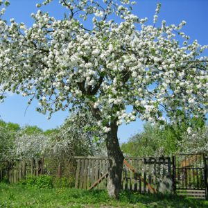 Flowering backyard fruit tree
