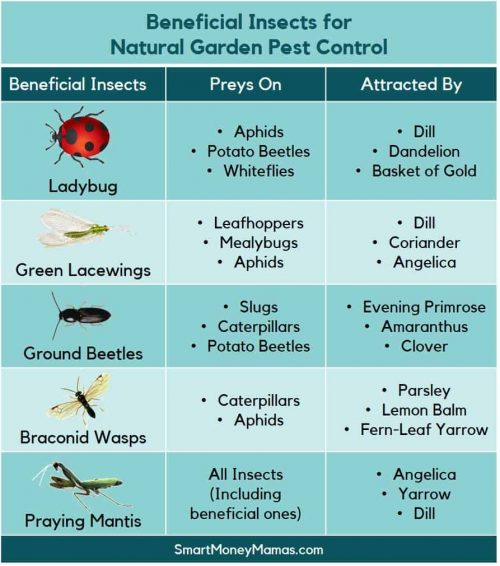 Beneficial Insects for Controlling Garden Pests - Infographic