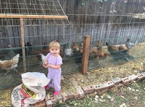 Toddler girl feeding chickens