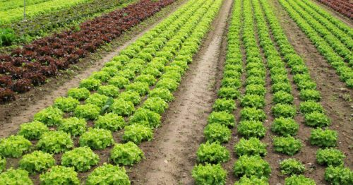 View of rows of green and red lettuces.